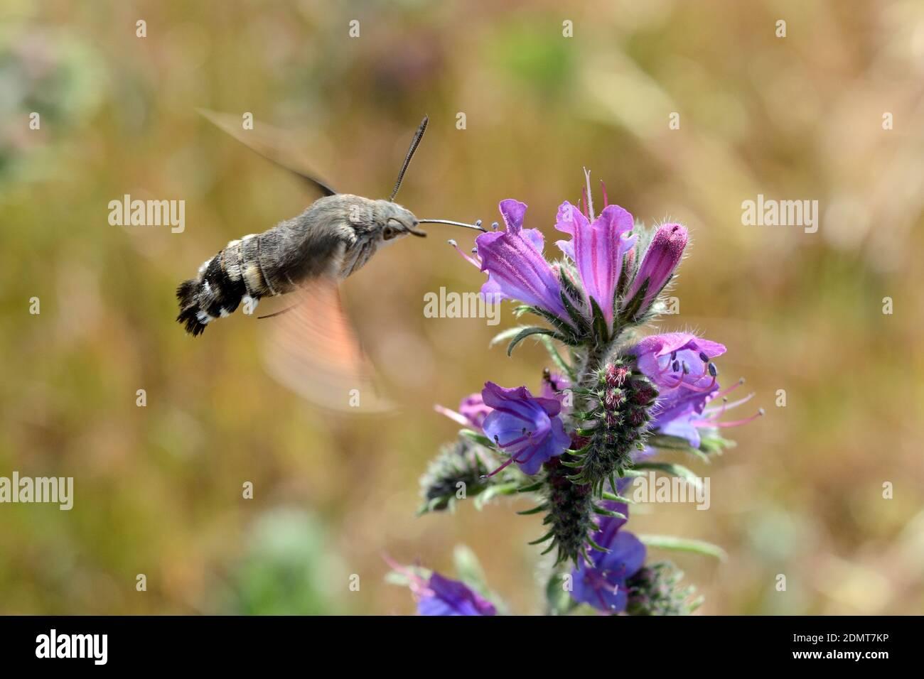Colibrí Hawk-Moth, Macroglossum stellatarum, alimentándose con Proboscis en el néctar de las flores en forma de tubo mientras flotaba Foto de stock