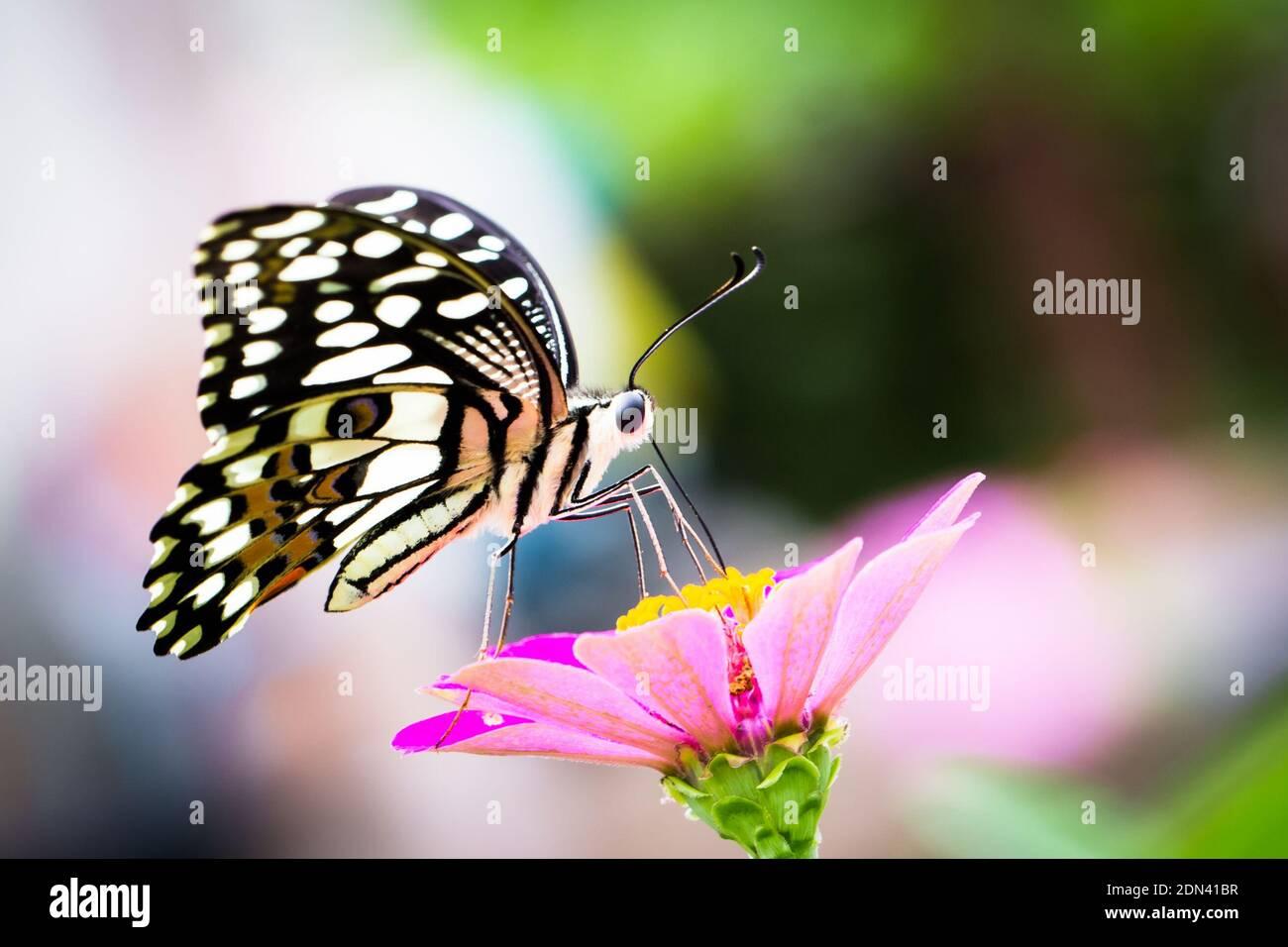 Cerca de Butterfly Polinizando en flor rosa Foto de stock