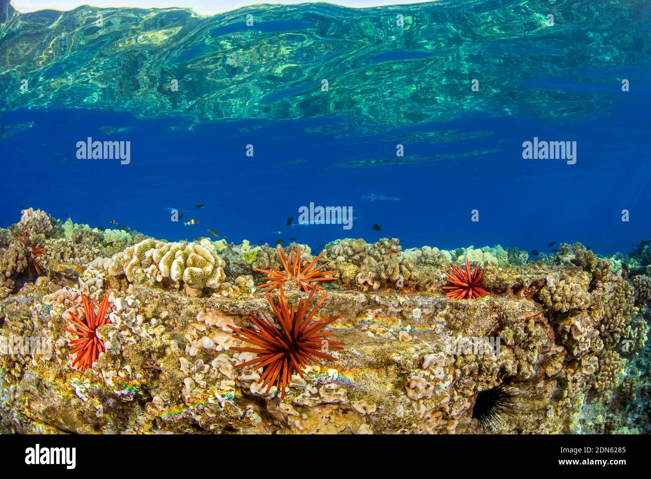 Aguja de cocodrilo, Tylosurus crocodilus, patrulla este arrecife poco profundo con erizos de mar de pizarra lápiz, Hawai. Foto de stock