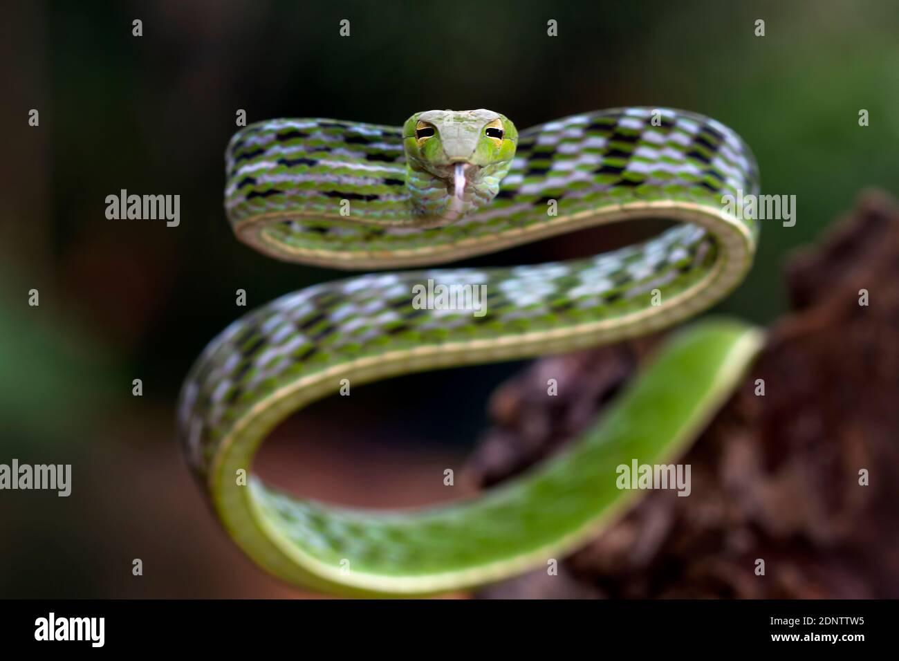 Primer plano de una serpiente de vid asiática en una rama, Indonesia Foto de stock