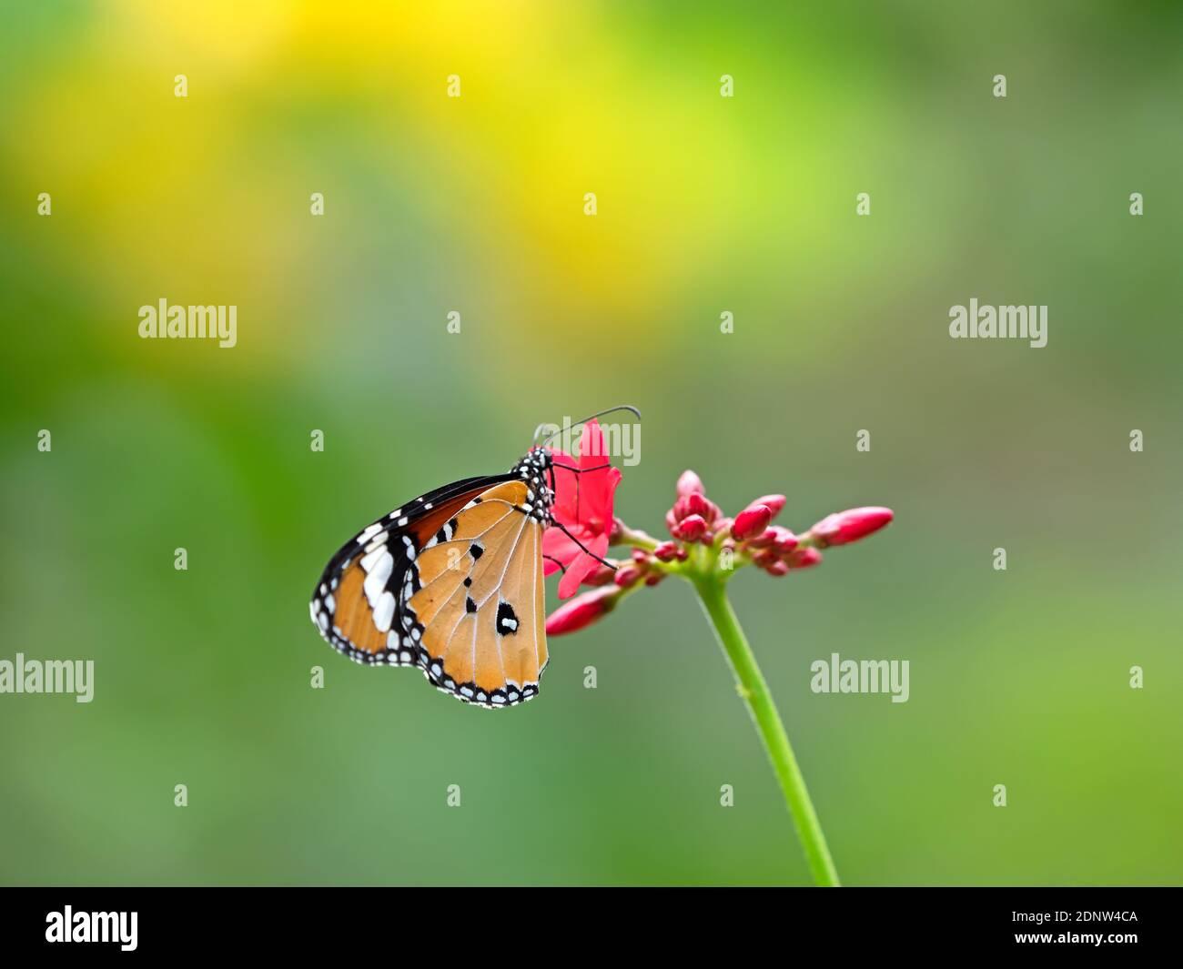 Cerca de Butterfly Polinizando en flor Foto de stock