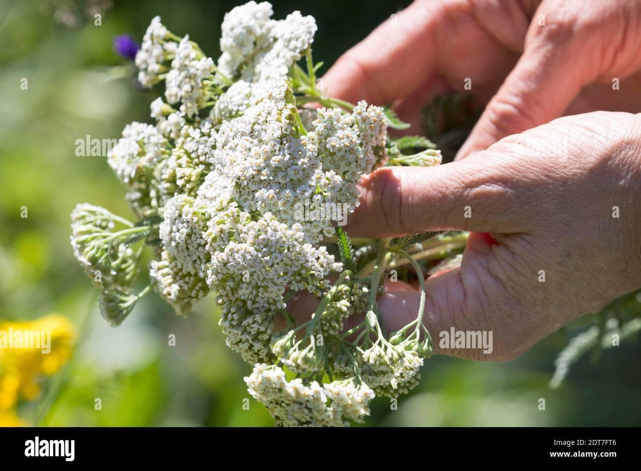 Yarrow común, milfoil (Achillea millefolium), cosecha de yarrow, yarrow floreciente se escoge, Alemania Foto de stock