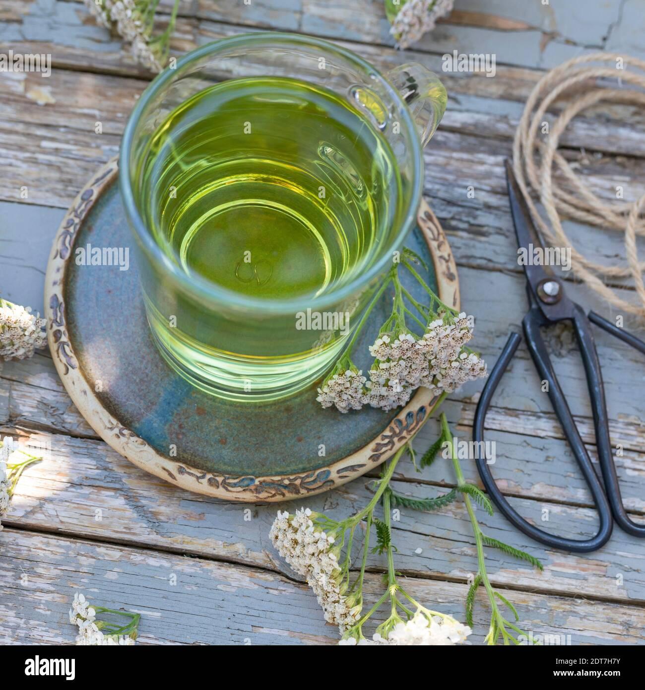 Yarrow común, milfoil (Achillea millefolium), té de yarrow selbmade, Alemania Foto de stock