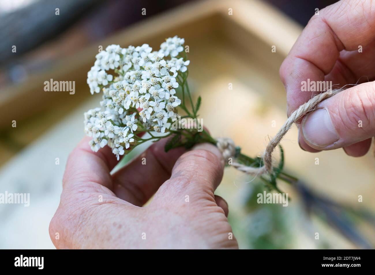 Yarrow común, milfoil (Achillea millefolium), pequeño ramo de yarrows está siendo atado, Alemania Foto de stock