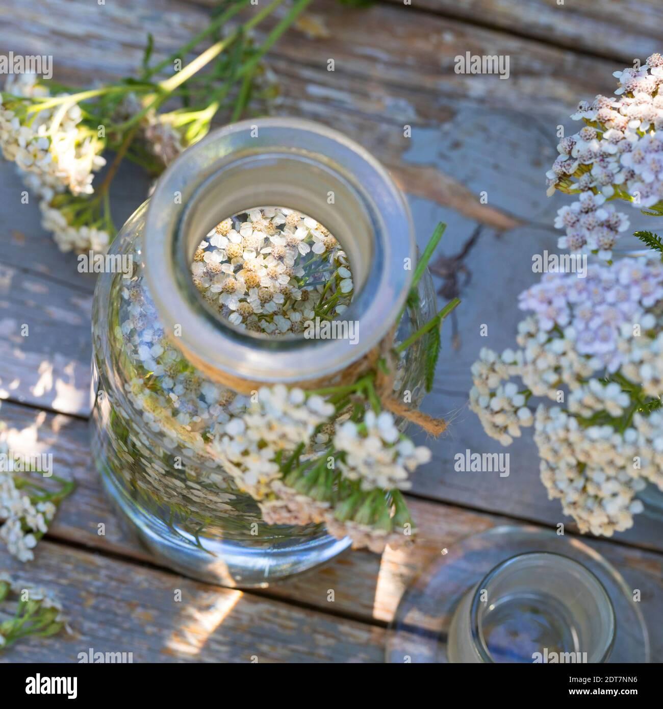 Yarrow común, milfoil (Achillea millefolium), tintura de yarrow auto-hecha, Alemania Foto de stock
