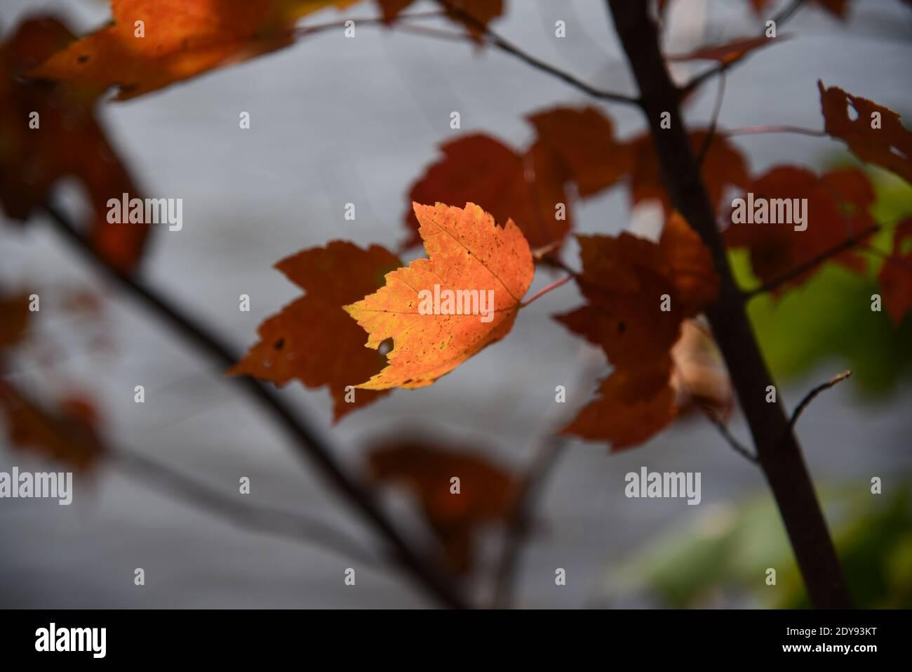 Close-up de hojas de arce en el árbol durante el otoño Foto de stock