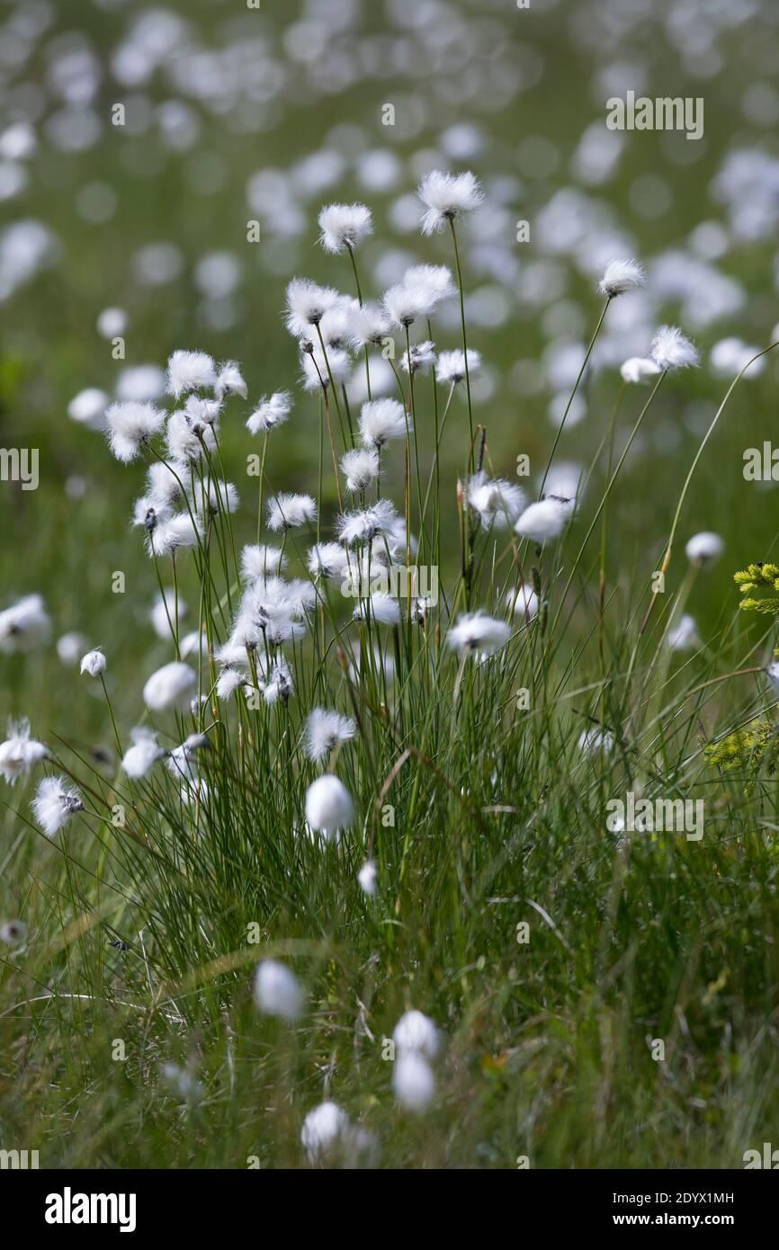 Scheiden-Wollgras, Scheidenwollgras, Moor-Wollgras, Scheidiges Wollgras, Schneiden-Wollgras, Wollgras, Wollgräser, eriophorum vaginatum, cola de liebre c Foto de stock