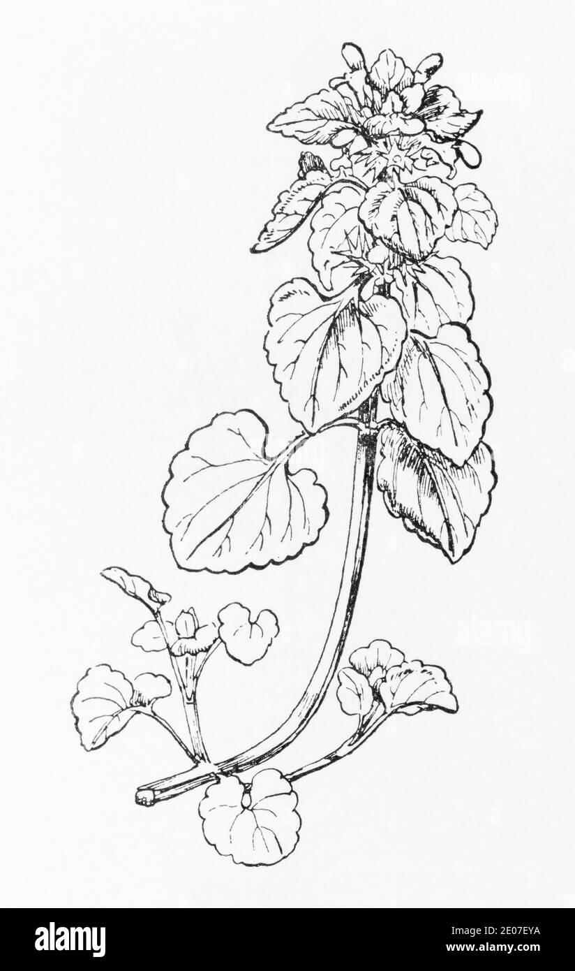 Antiguo grabado de ilustración botánica de Red Dead Nettle / Lamium purpureum. Planta herbaria medicinal tradicional. Ver Notas Foto de stock
