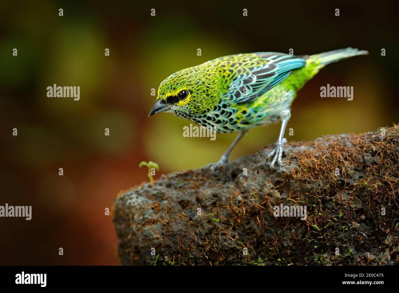 Tanagers moteado, Tangara guttata, sentado en la piedra marrón. Aves tropicales en el hábitat natural. Vida silvestre en Costa Rica. Montaña amarilla y verde Foto de stock