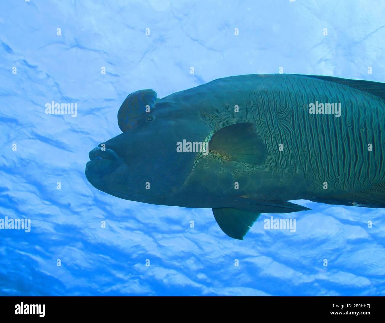Napoleon-Lippfisch (Cheilinus undulatus), Rotes Meer, Aegypten Foto de stock