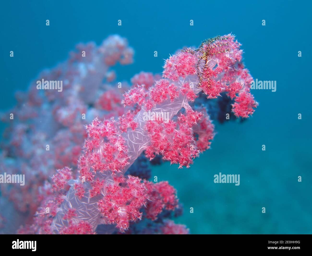 Weichkoralle, Korallenriff, Rotes Meer, Aegypten Foto de stock