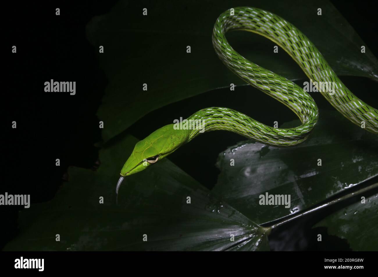Serpiente verde sobre fondo negro - serpiente común de la vid (ahaetulla nasuta). Serpiente de la selva del sudeste asiático. Foto de stock