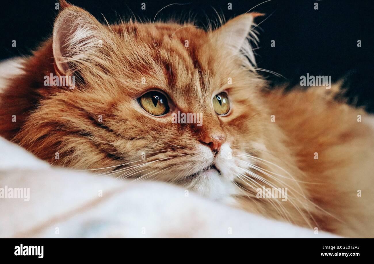 Retrato de un gato de jengibre en la cama Foto de stock