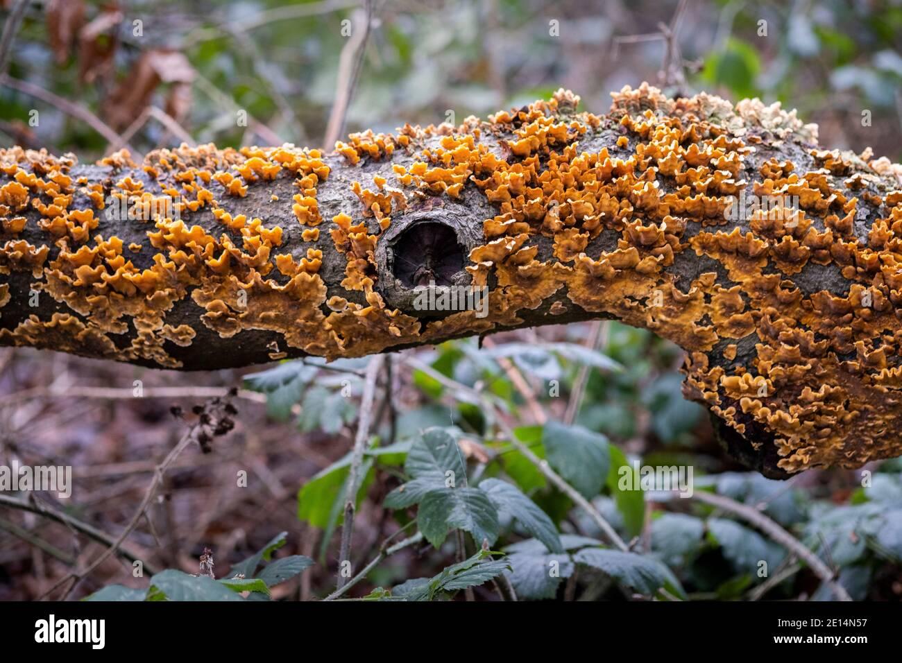 Primer plano de Intrecate modeló el crecimiento de hongos en un árbol caído en un bosque inglés, Worcestershire, Reino Unido. Foto de stock