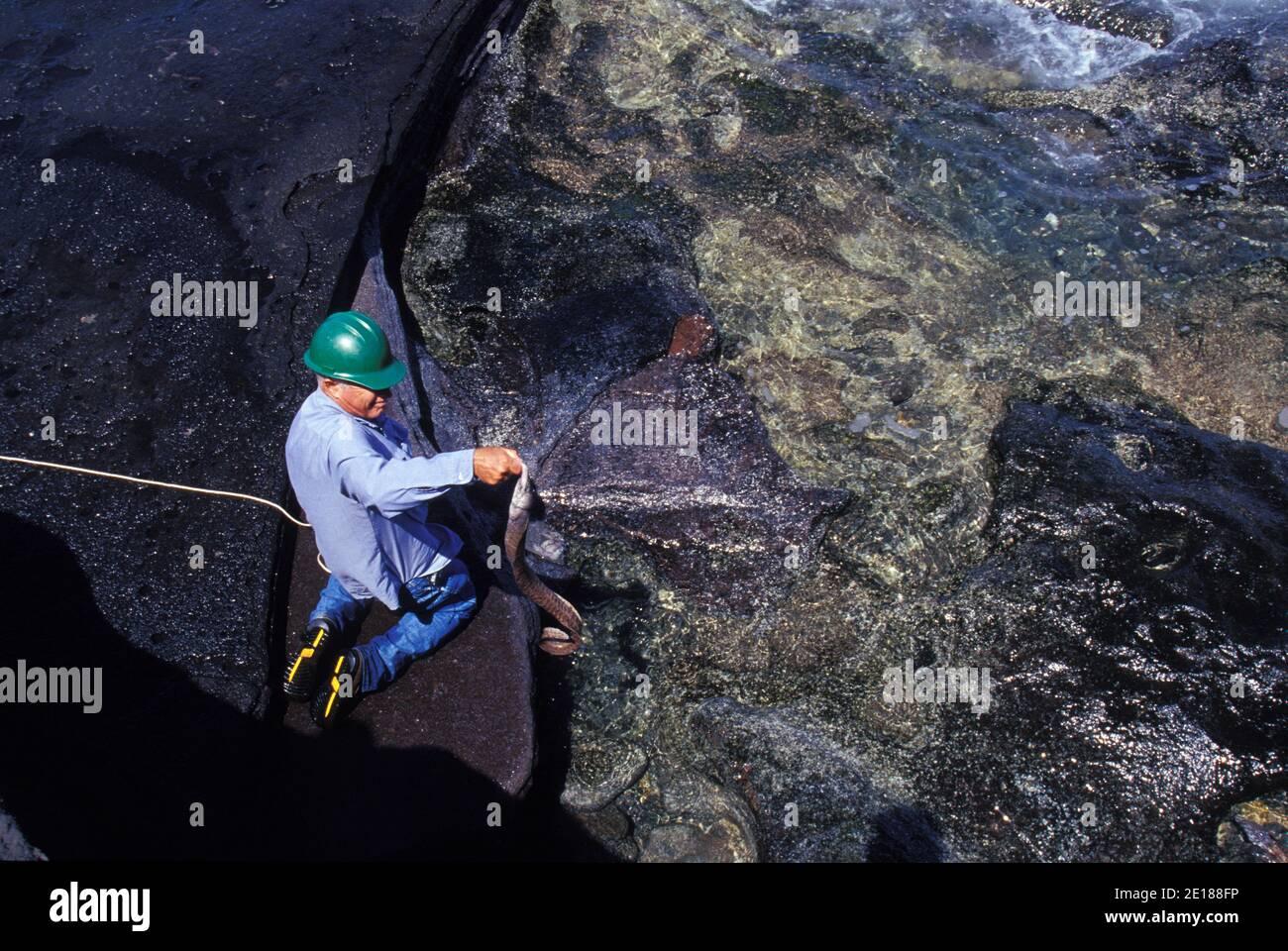 Keith Robinson feeds an eel in shallow waters of Niihau, Hawaii Foto de stock