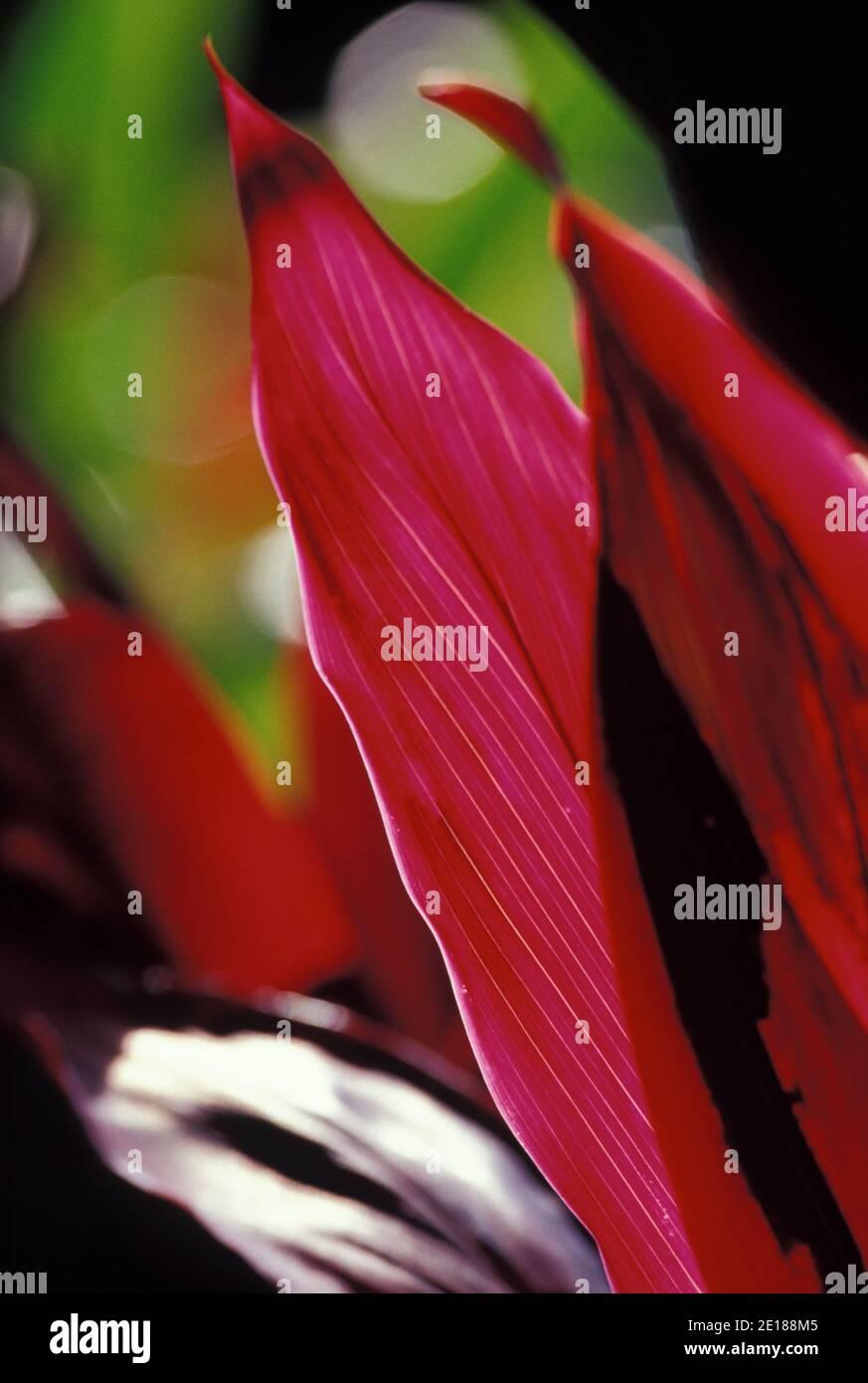 Red ti leaf closeup, backlit by sun Foto de stock