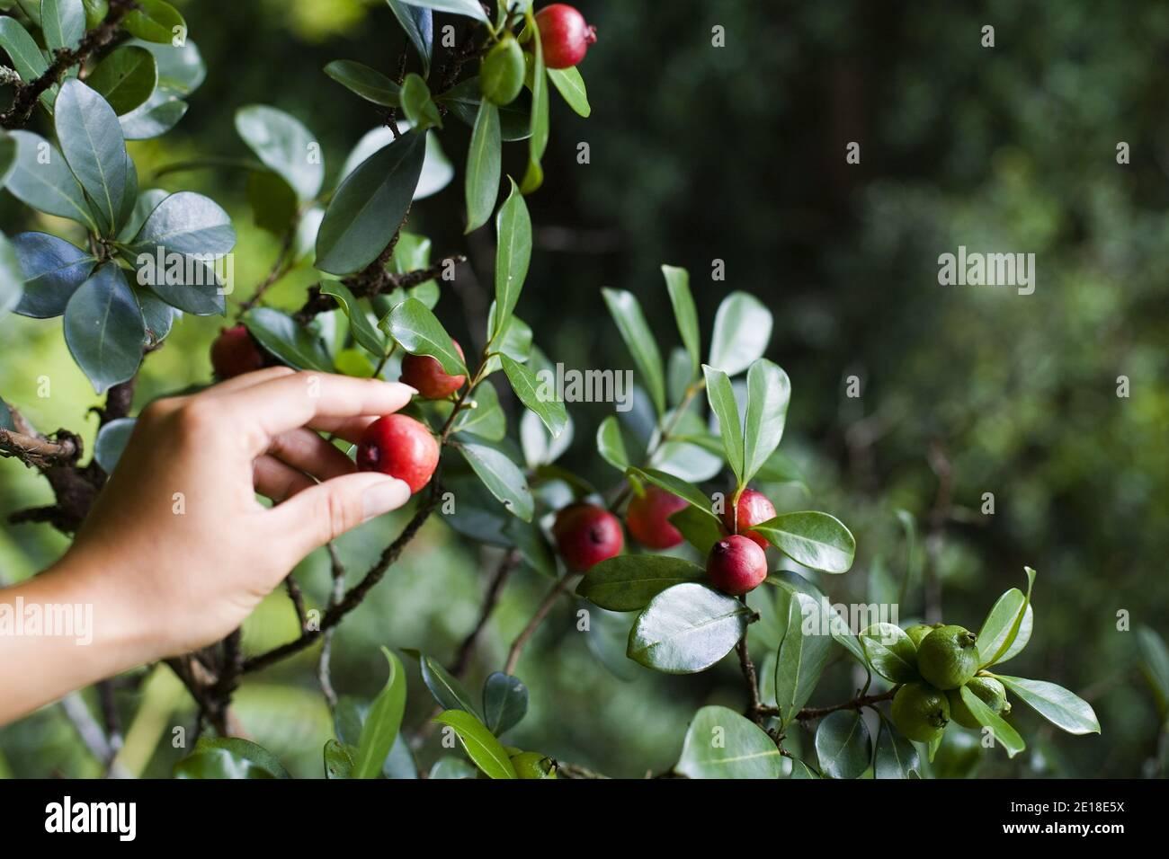 Guayaba de fresa (psidium cattleianum) Son deliciosos y crecen silvestres en los restos de Hawai Foto de stock