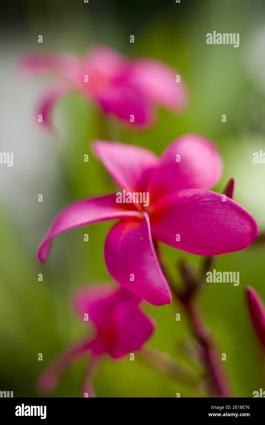 Flores de Plumeria, una flor fragante profundamente ligada a Hawai y su cultura, también llamada frangipani Foto de stock