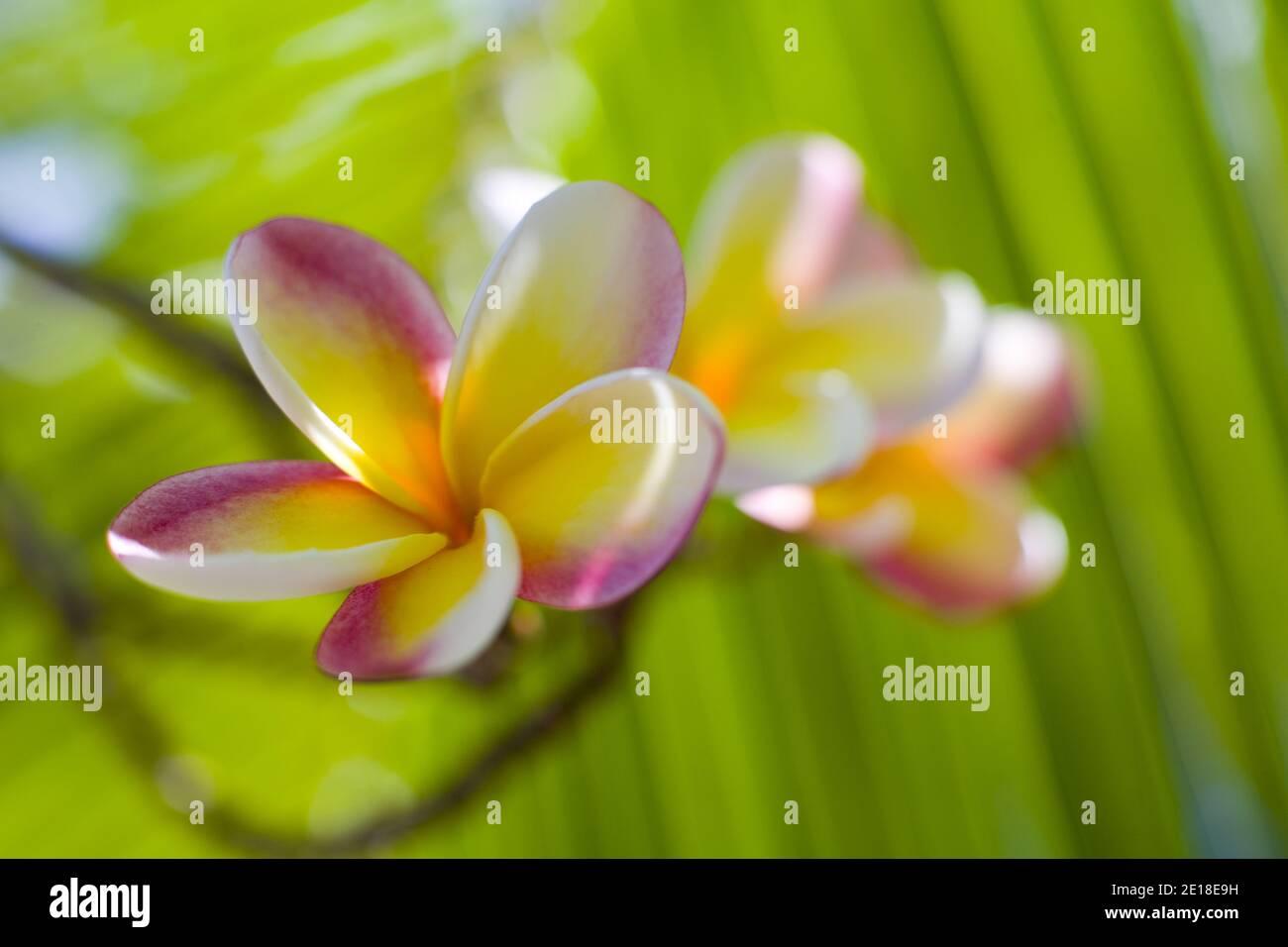 Flores de Plumeria, una flor fragante profundamente ligada a Hawai y su cultura, también llamada ''frangipani Foto de stock