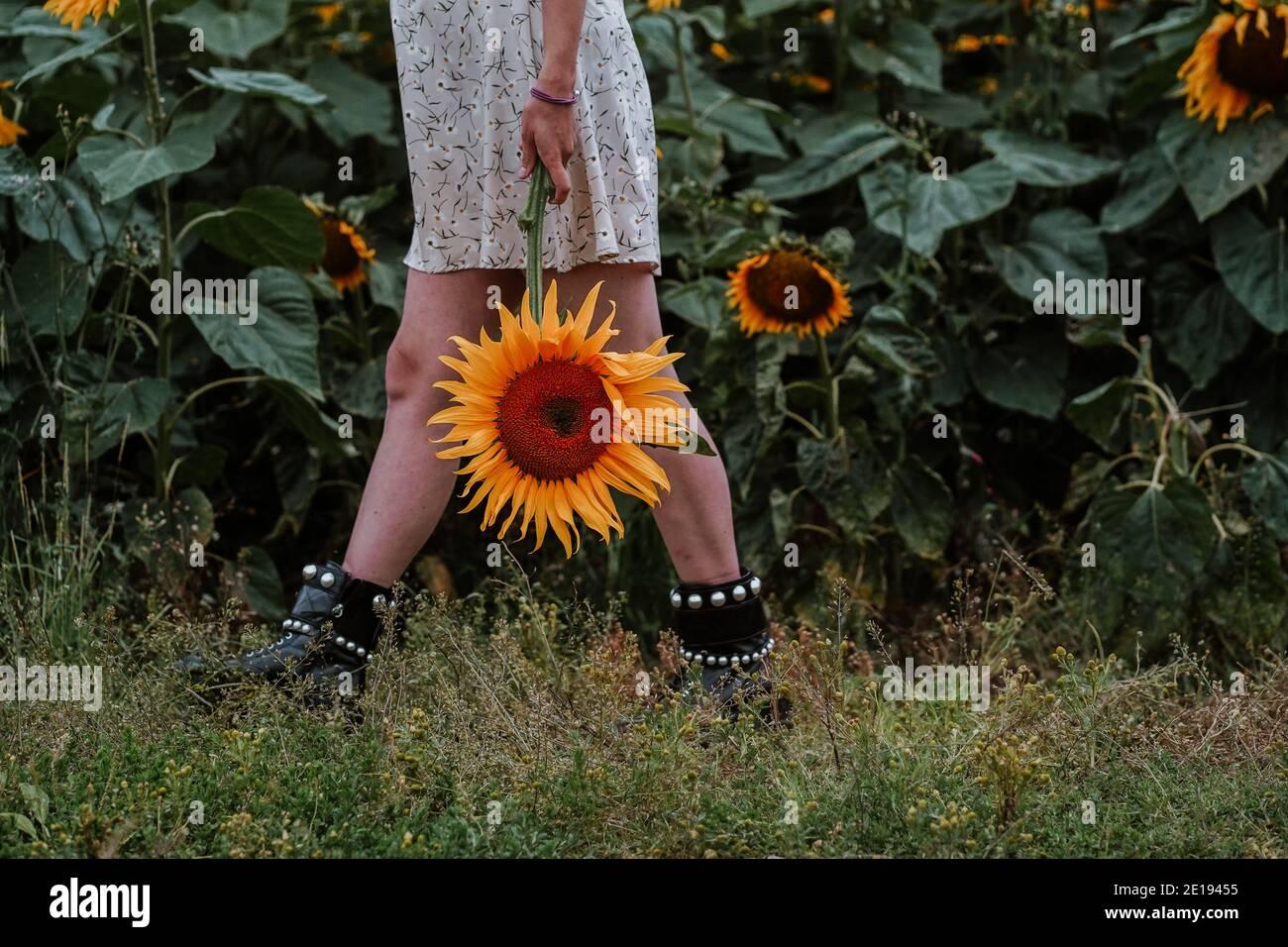 Mujer embarazada Brunette en Sunflower field, Reino Unido Foto de stock