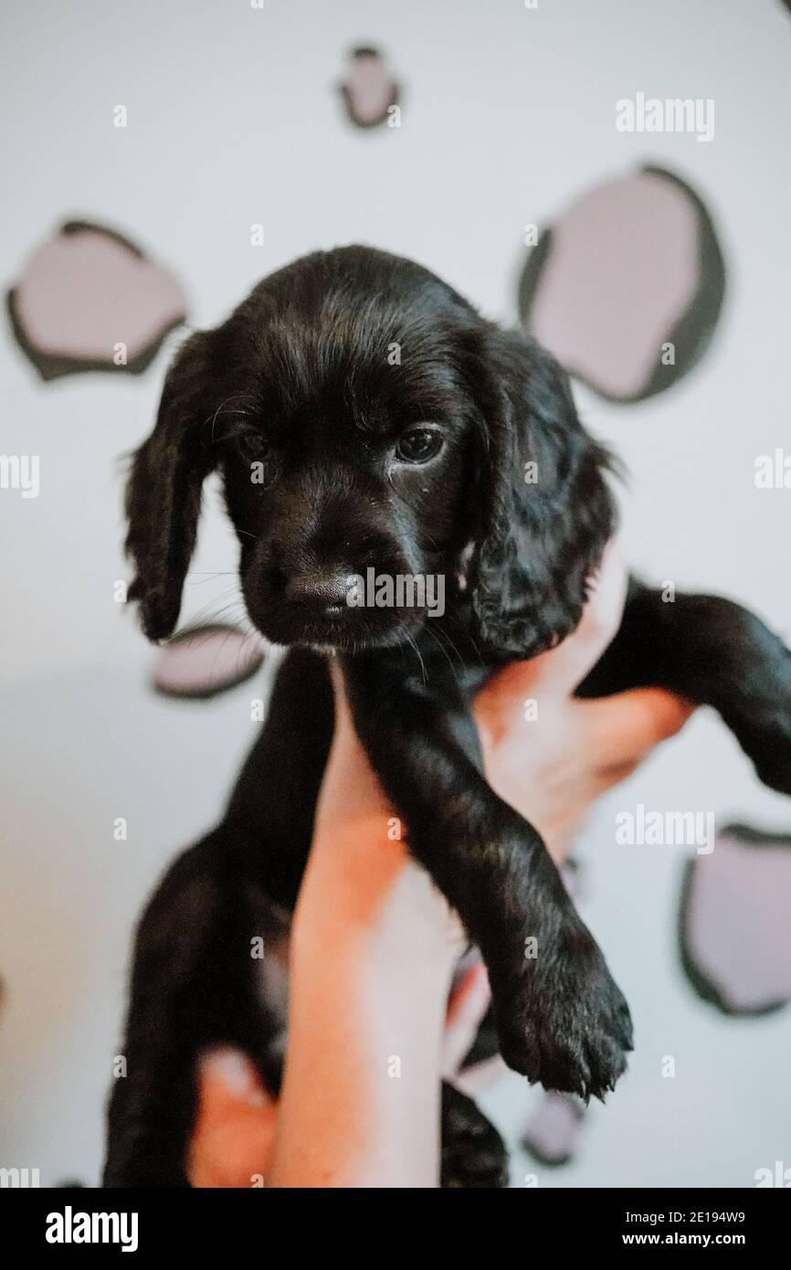 Negro trabajador cachorro spaniel cachorro en casa Foto de stock