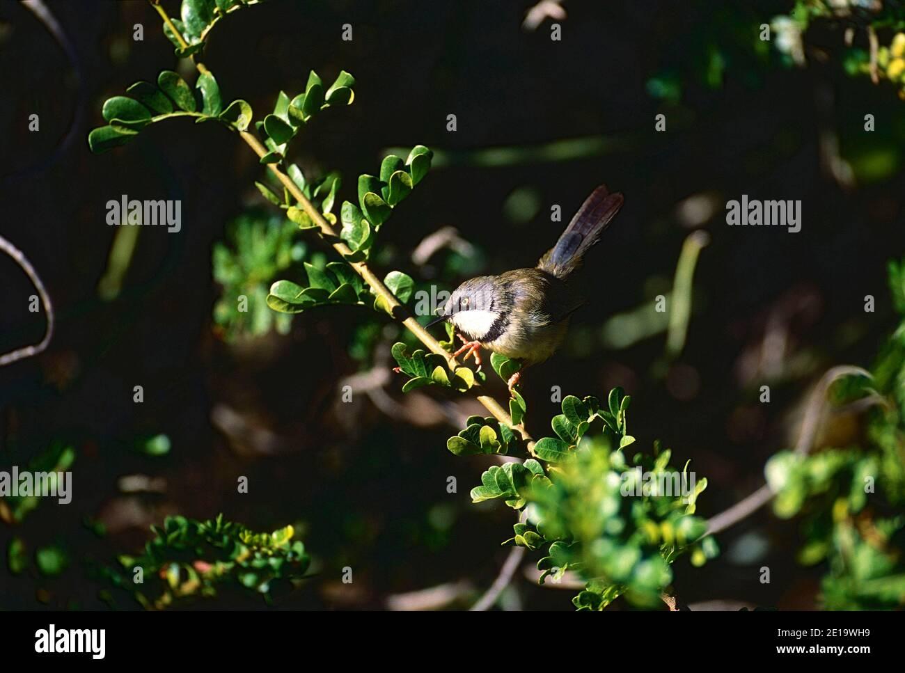 Apalis Barthroated, Apalis thoracia, Cisticolidae, aves, animales, Parque Nacional de elefantes Addo, Sudáfrica Foto de stock