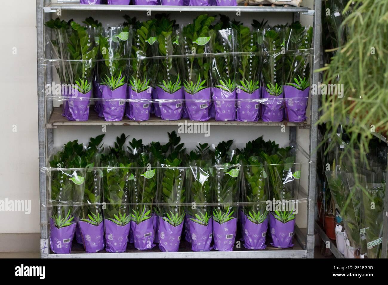 Lote de plantas de zamioculcas en vitrina en tienda de flores, fondo floral, enfoque selectivo Foto de stock