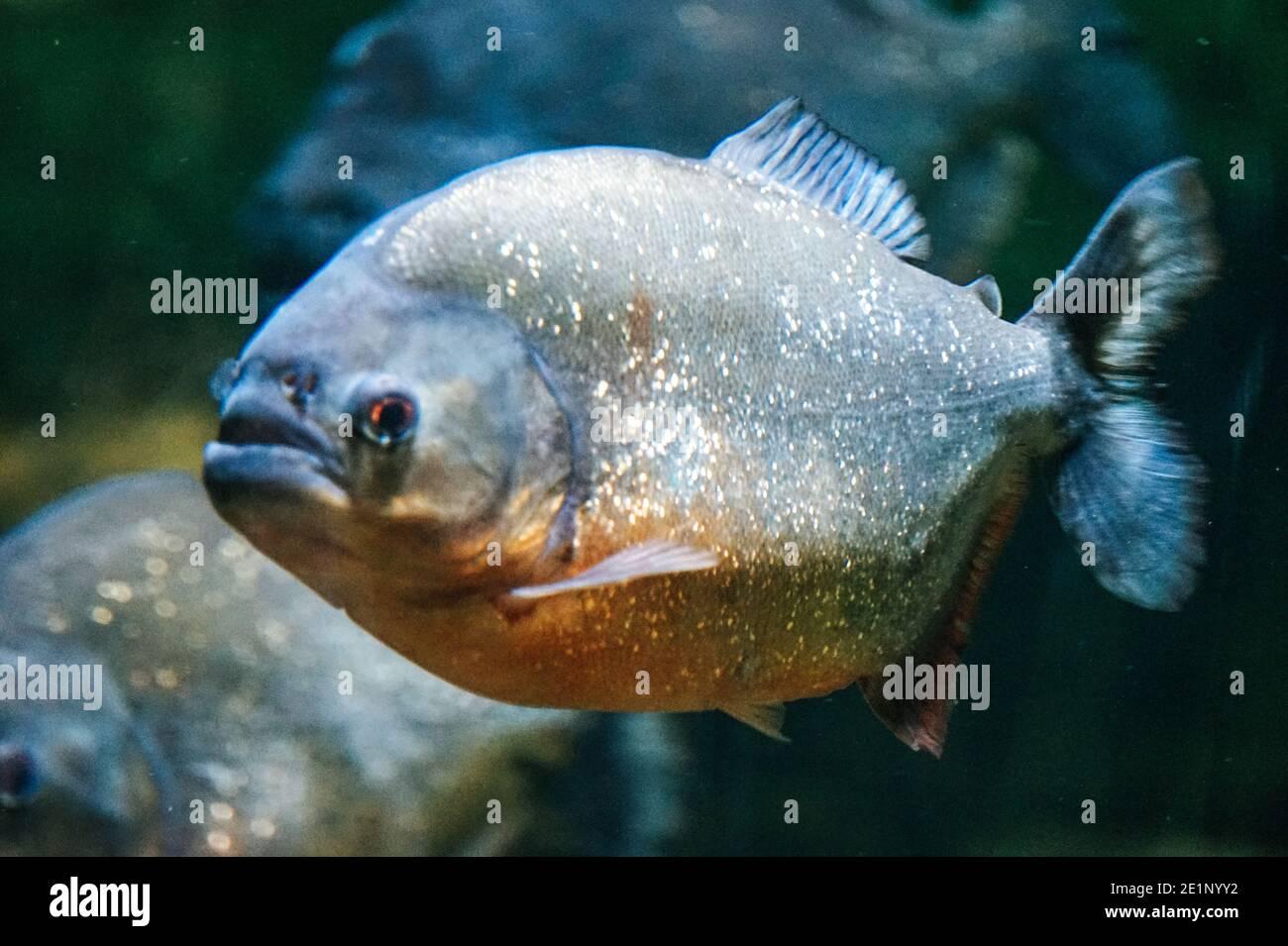 Piranha Fish - vista lateral Foto de stock