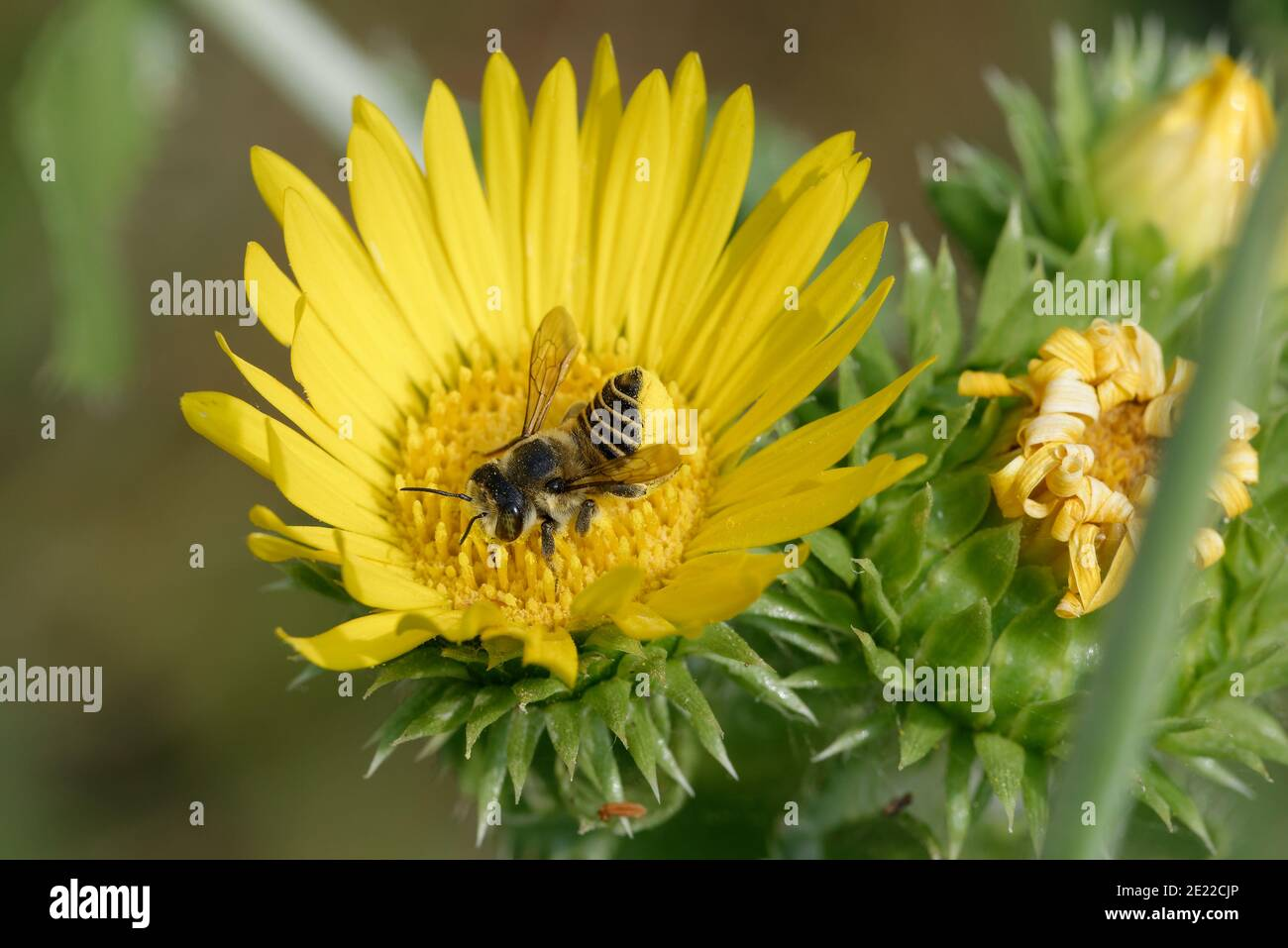 Saw-Leaf Daisy con abeja cortadora de hojas Foto de stock