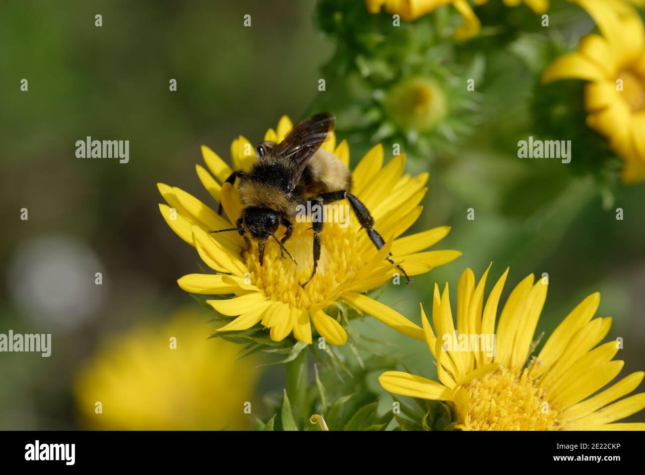 Saw-Leaf Daisy con Bumblebee Foto de stock