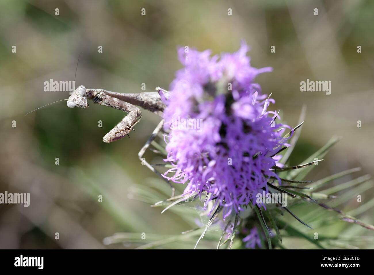 Gayfeather con mantis rezando Foto de stock