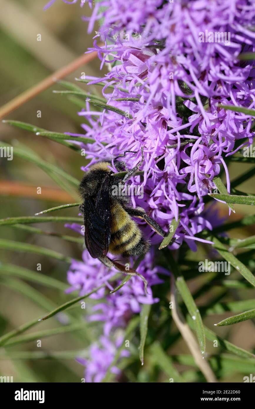 Gayfeather con Bumblebee Foto de stock
