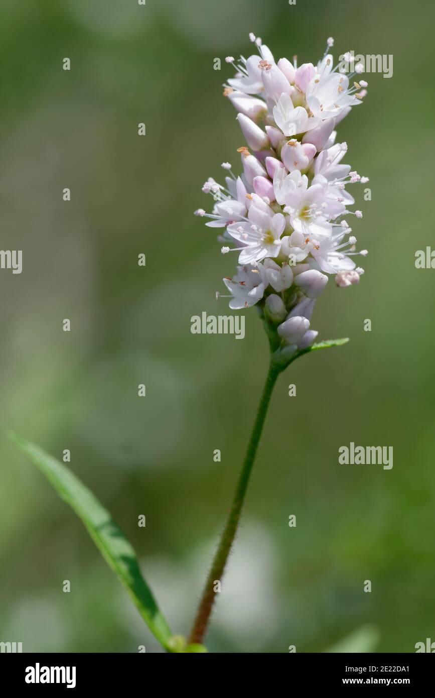 Carey's Smartweed Foto de stock