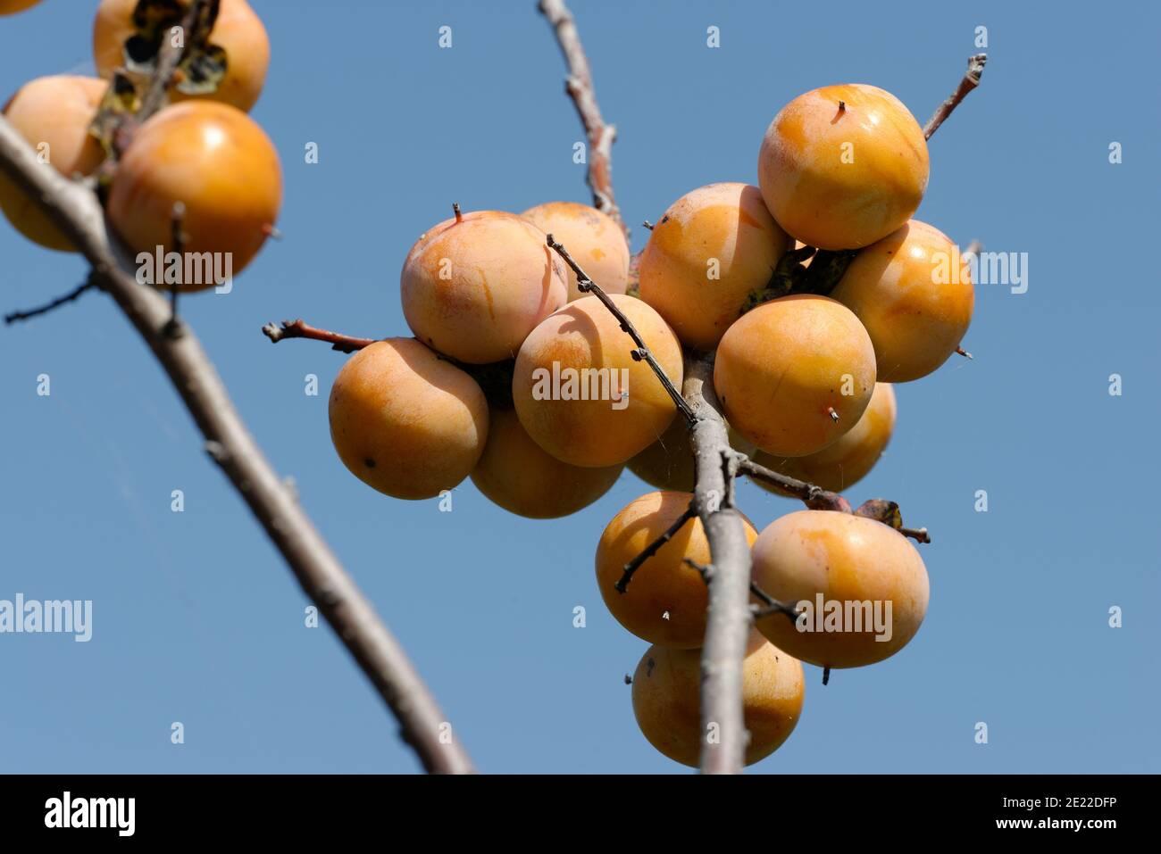 Fruta común de Persimmon Foto de stock