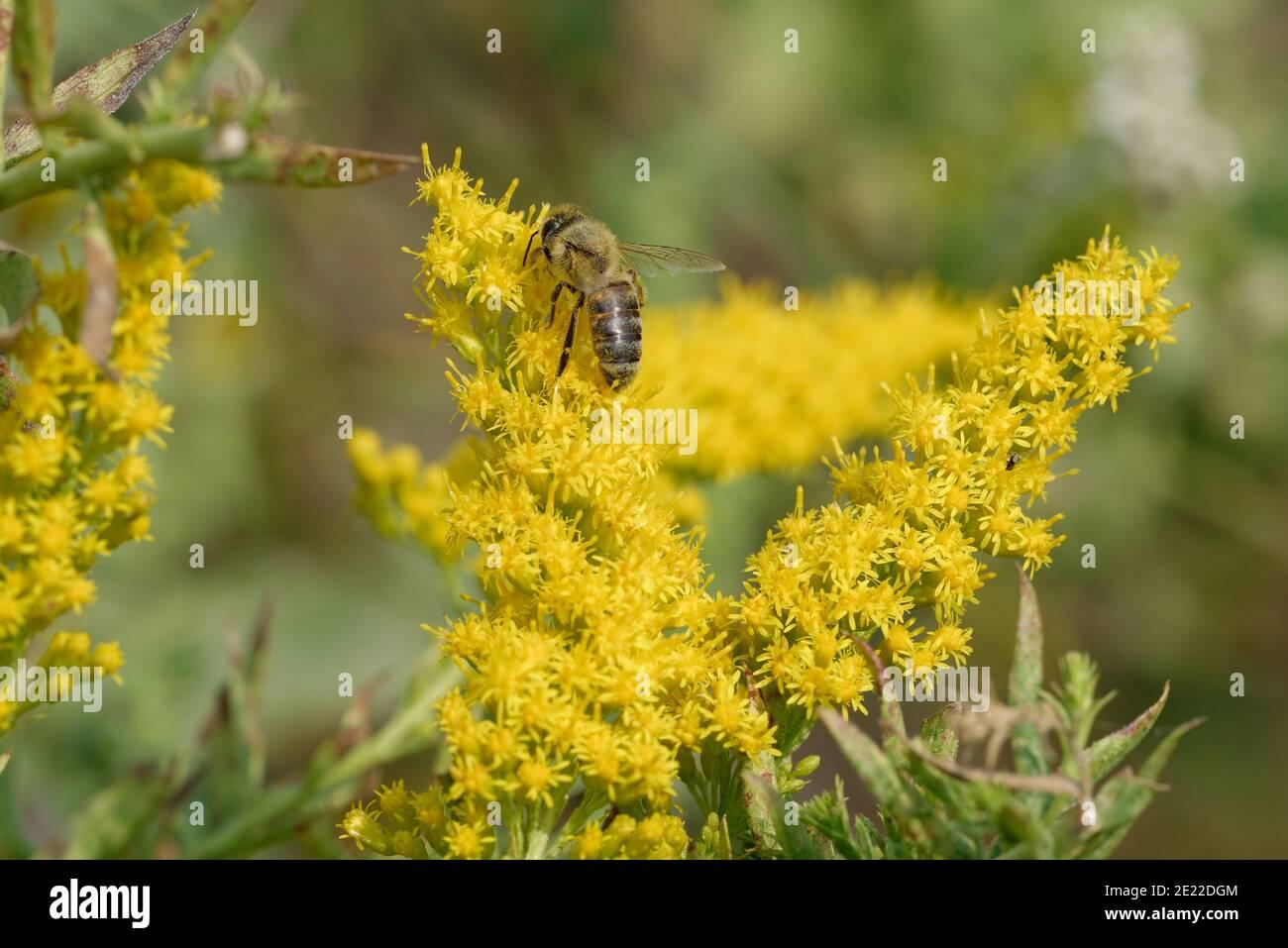 Goldenrod con abeja miel Foto de stock
