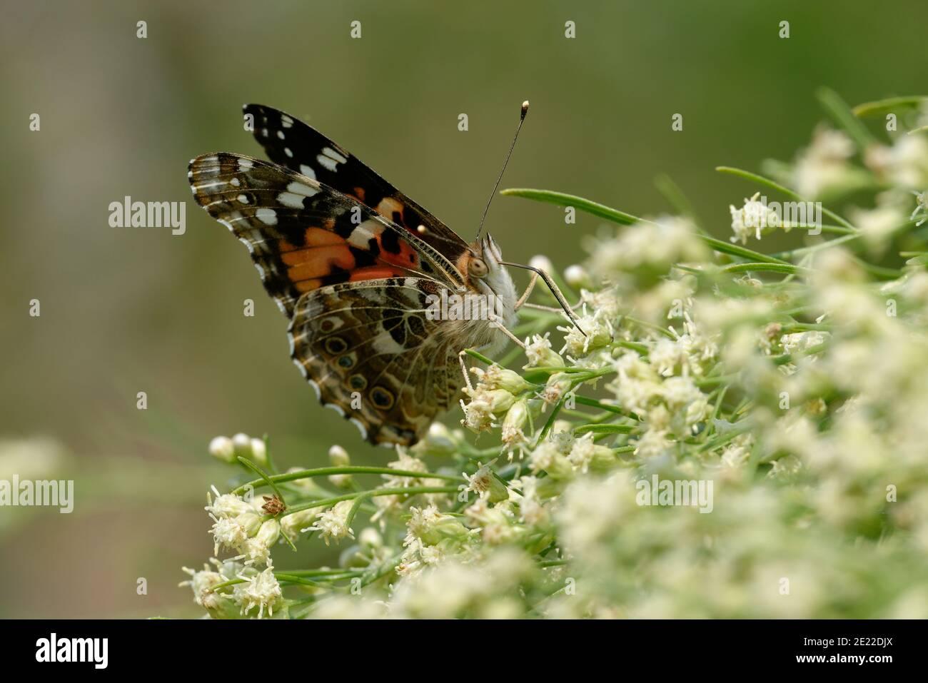 Almirante rojo Butterfly Foto de stock