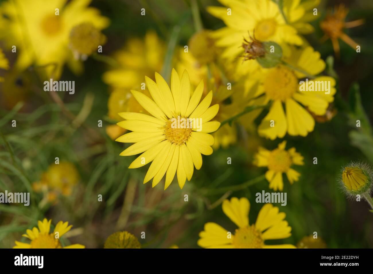 Sleepy Daisy (Xanthisma texanum) Foto de stock