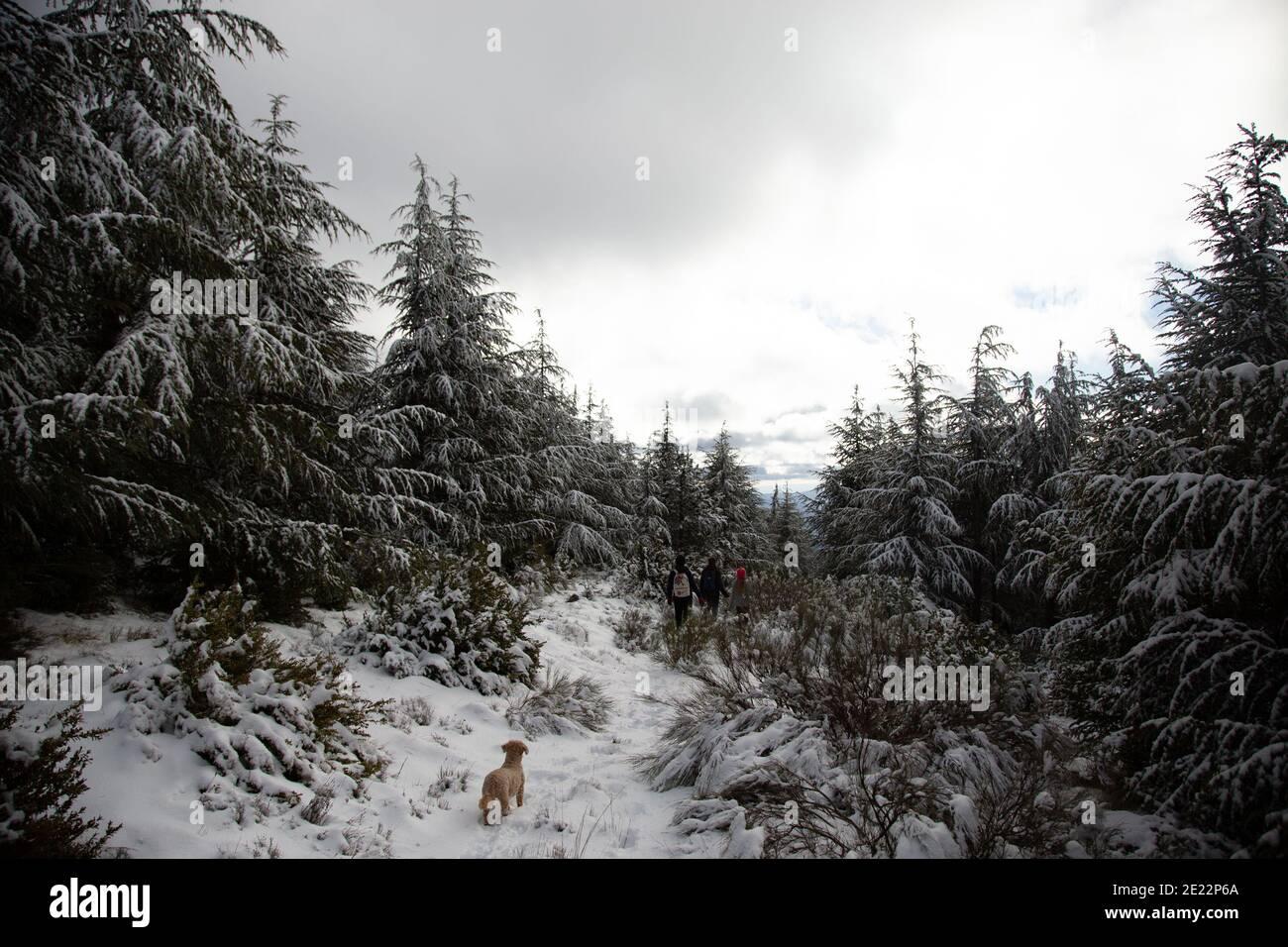 Perro buscando perdido en el bosque nevado. Foto de stock