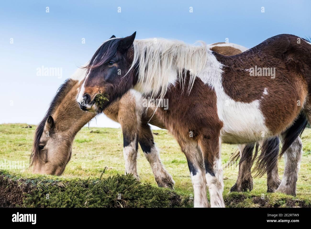 Icónico ponis salvajes Bodmin pastando en Bodmin Moor en Cornwall. Foto de stock