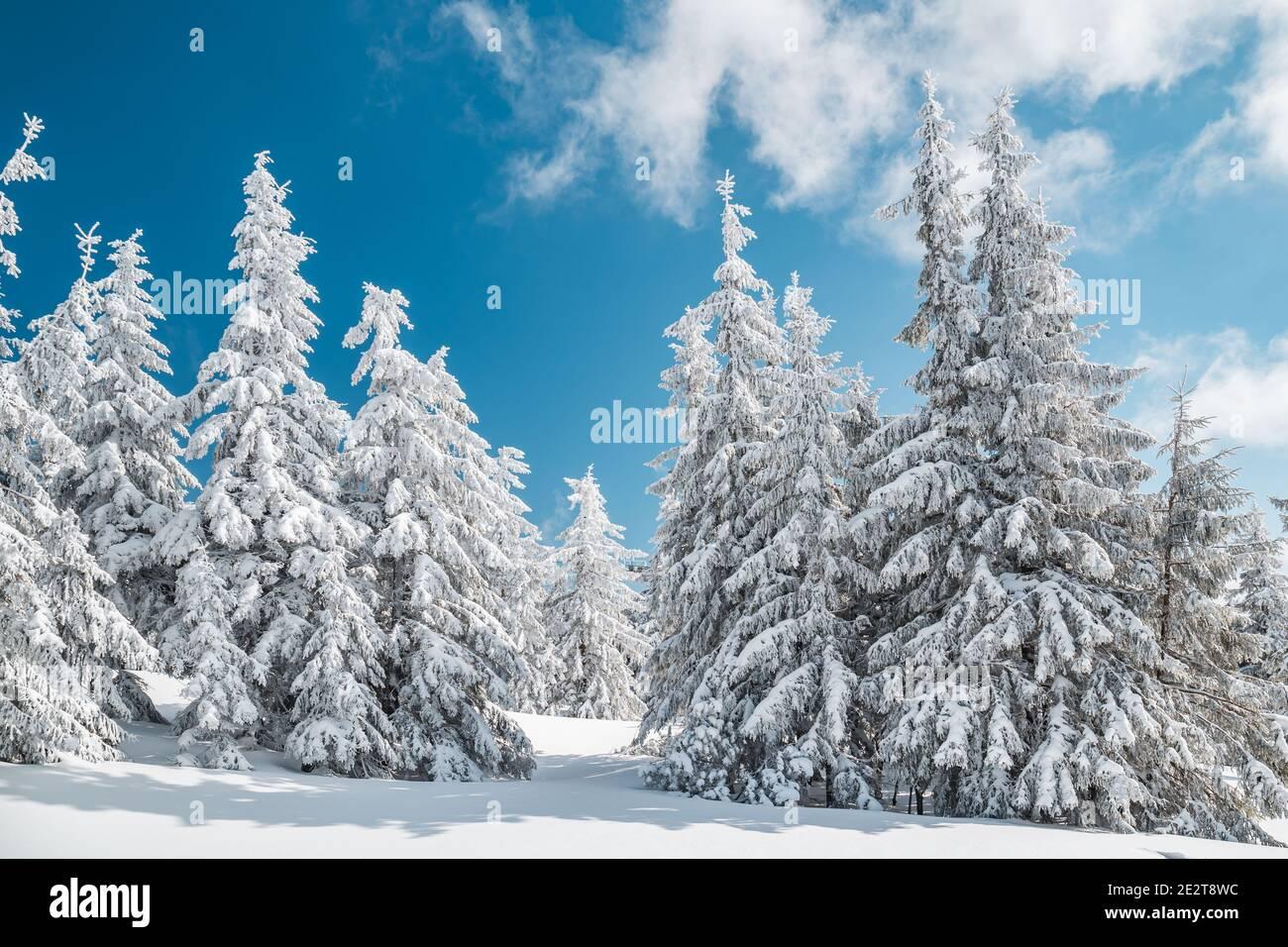 Majestuosos árboles de brucas blancas brillando por la luz del sol contra el cielo azul oscuro. Magnífica escena invernal. Lugar lugar república Checa, Krkonose. Foto de stock