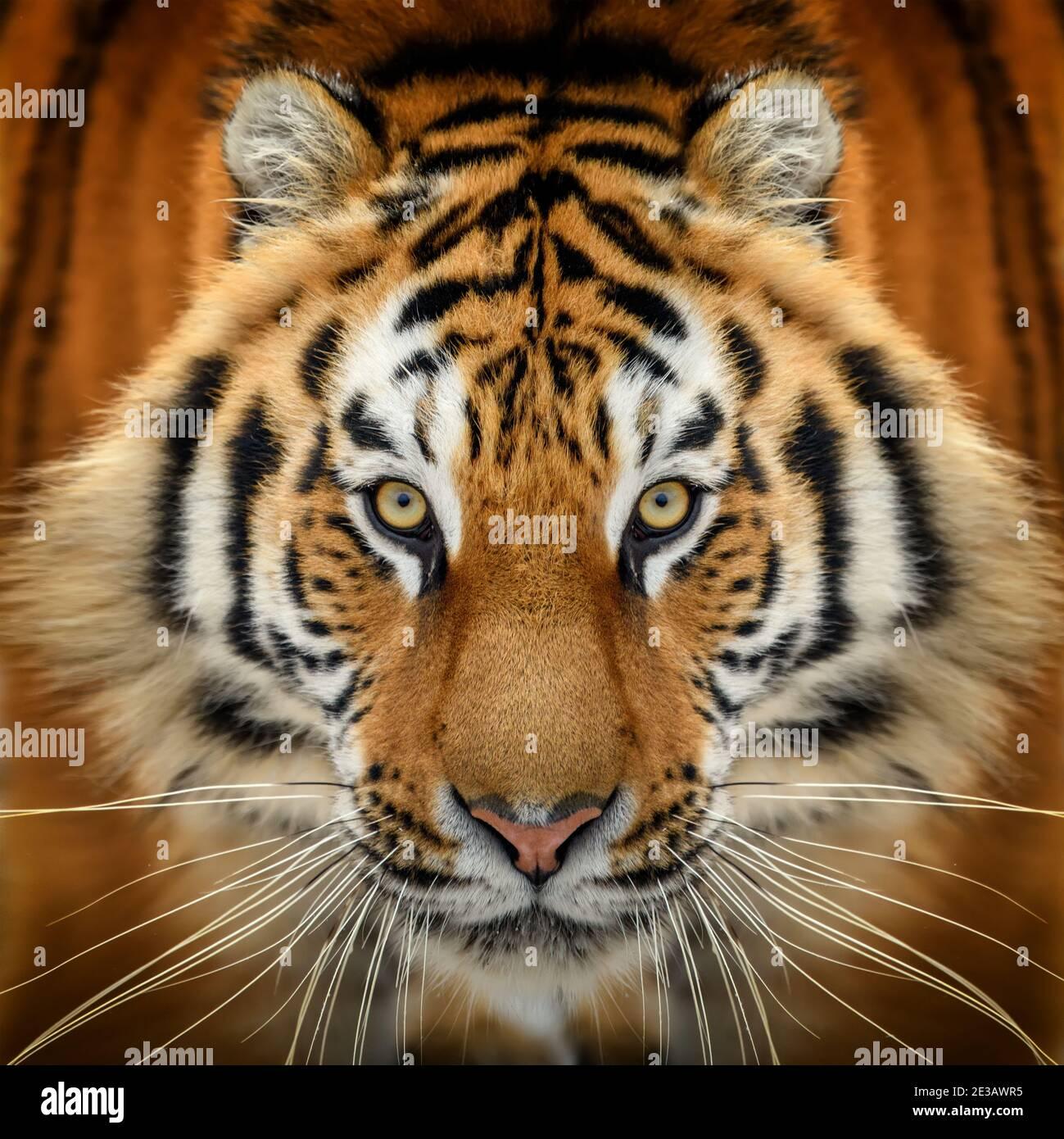 Primer plano retrato de tigre. Animal mirando en la cámara. Peligro animal en el hábitat de la naturaleza Foto de stock