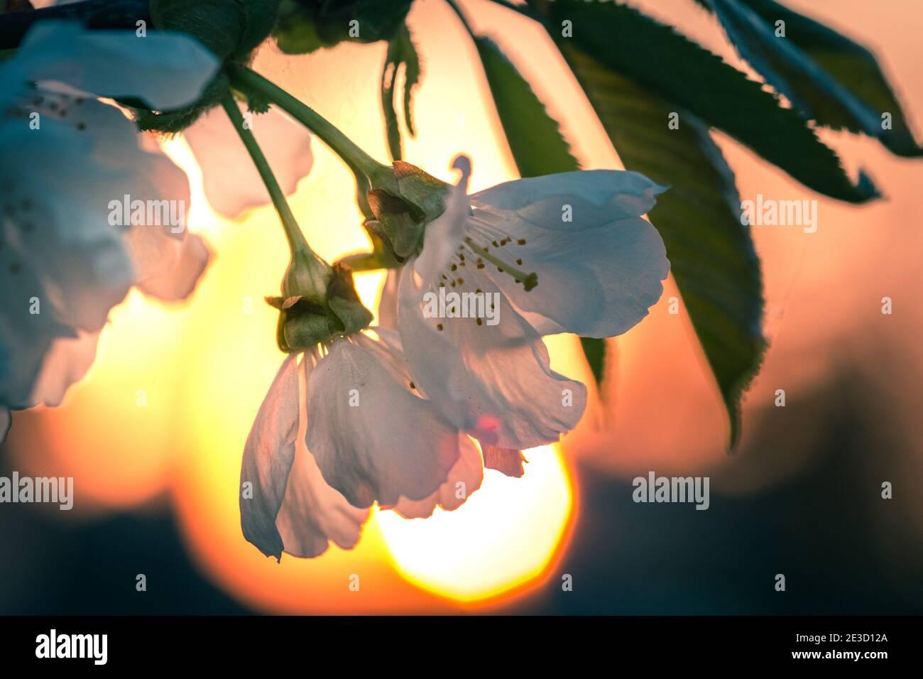 Rama de cerezos en flor bajo la puesta de sol con la llamarada en el antecedentes Foto de stock