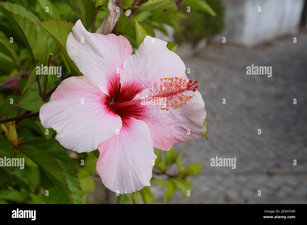 Hibiscus flor en flor Foto de stock