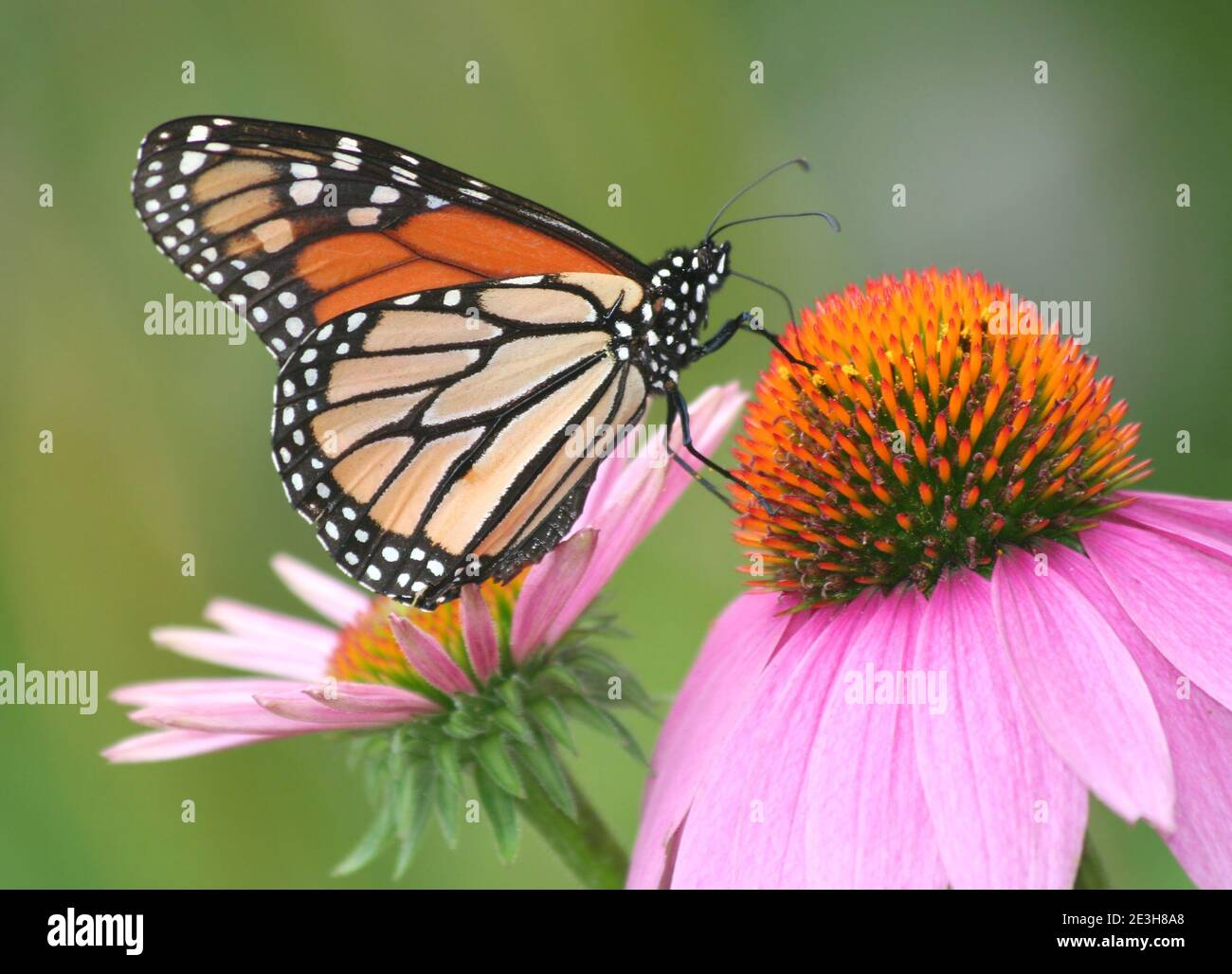Mariposa monarca posando sobre la flor púrpura en Chicago, Illinois en el caluroso día de verano. Foto de stock