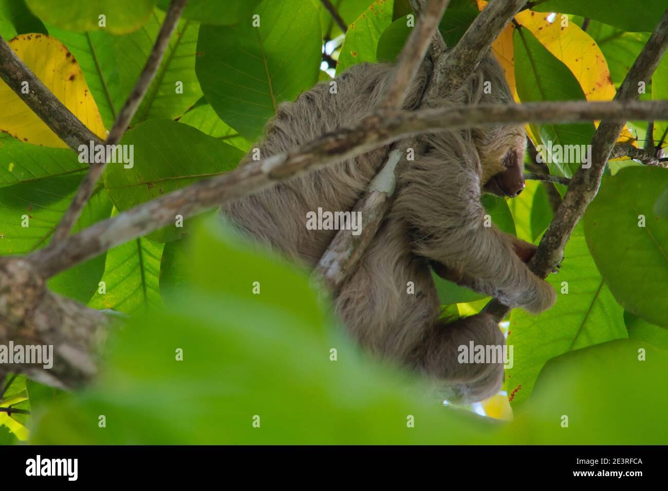 pereza trepando en un árbol en costa rica Foto de stock