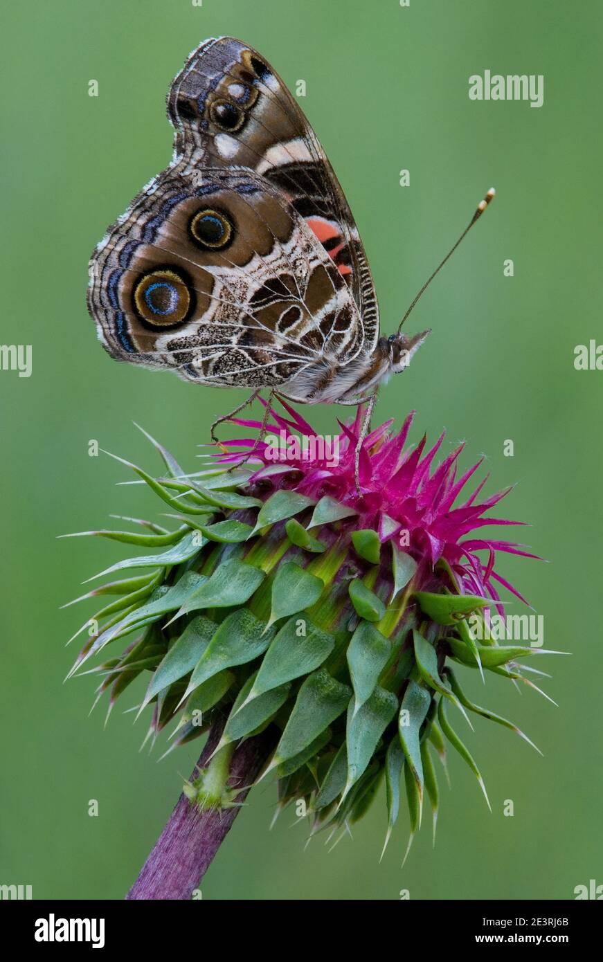 American Painted Lady Butterfly (Vanessa cardui) alimentándose de la flor de la nodding Thistle (Carduus nutans), EE.UU., por Skip Moody/Dembinsky Photo Assoc Foto de stock