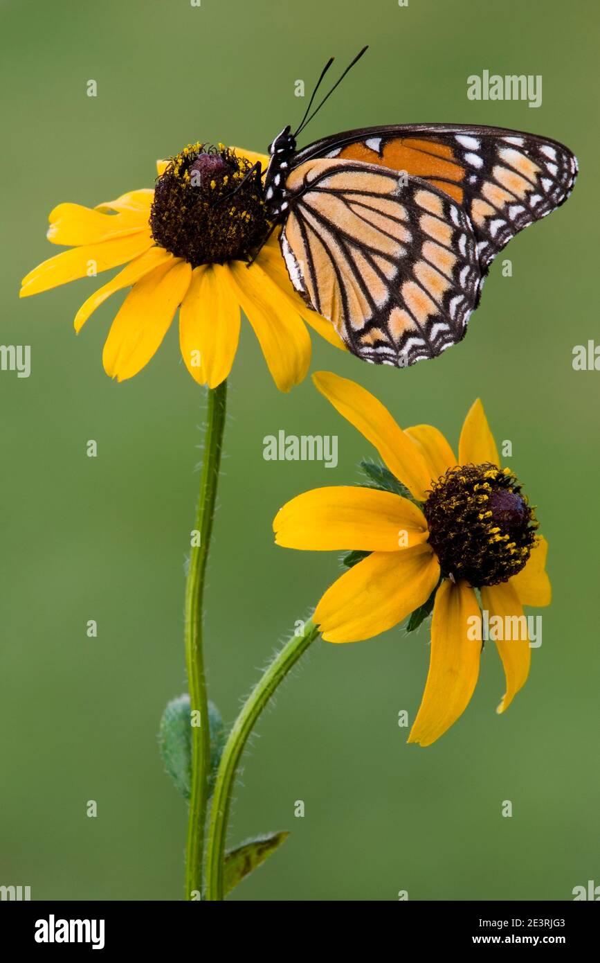 Mariposa de Virrey (Limenitis archippus) alimentándose de las flores de Susans de ojos Negros (Rudbeckia hirta), EE.UU., por Skip Moody/Dembinsky Photo Assoc Foto de stock