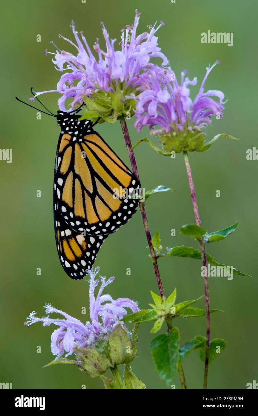 Mariposa monarca (Danaus plexippus) alimentándose del néctar de Bergamot salvaje (Monarda fistulosa), E USA, por Skip Moody/Dembinsky Photo Assoc Foto de stock