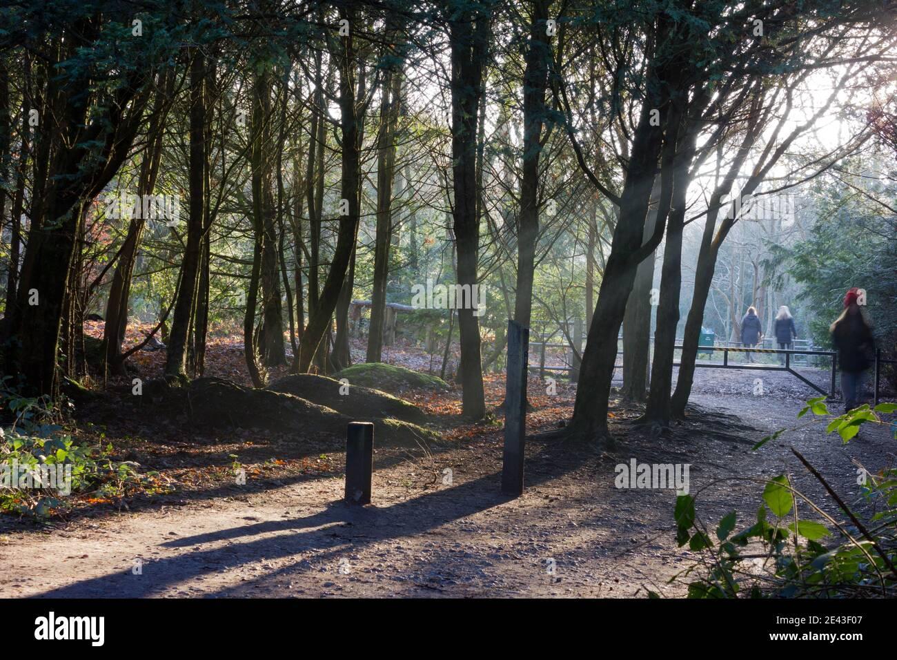 Los rayos solares de invierno se extienden a través de los árboles en el bosque, Kent, Inglaterra Foto de stock