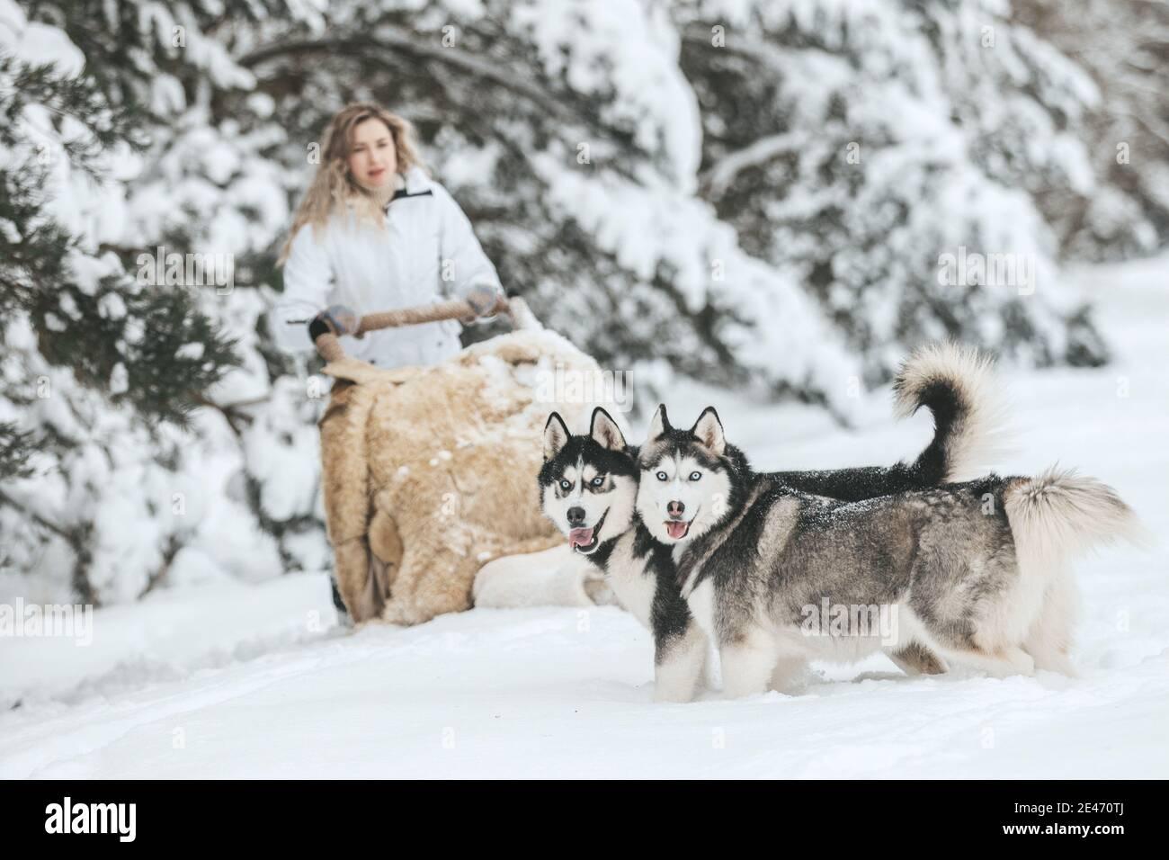 La chica se monta en un trineo en un trineo con huskies siberianos en el bosque de invierno. Mascota. Husky. Cartel artístico de Husky, impresión de Husky, Foto de stock